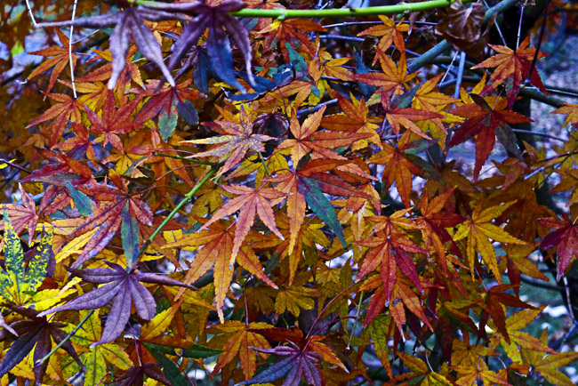 Japanese Maple's rainbow of fall color