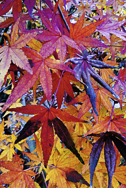 Japanese maple's exploding fall color