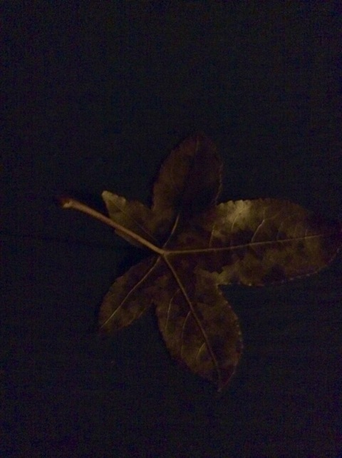 Lonely leaf of the Gum Tree in the last light of the day