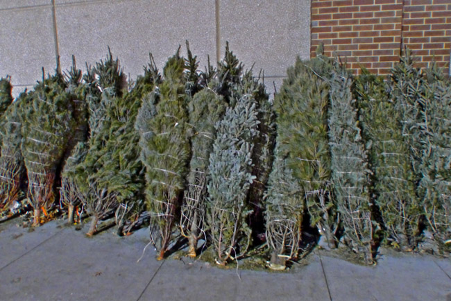 Bound forlorn trees sacrificed for seasonal commerce