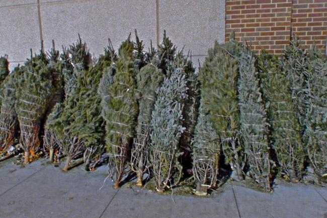 Bound forlorn trees sacrificed for seasonal commerce