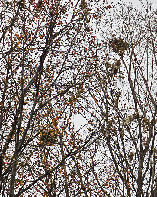 Autumn Treetops