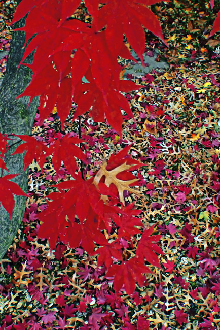 Falling Leaves, Japanese Maple and Oak. Wouldn't this image work well as a 1500 piece jigsaw puzzle