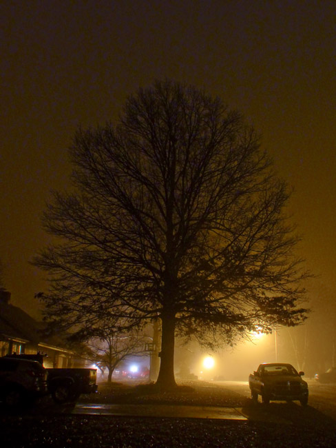 Pin Oak on a foggy night
