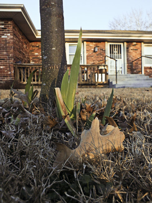 The world is all screwed up, it's February 12th and the Irises are coming up early.