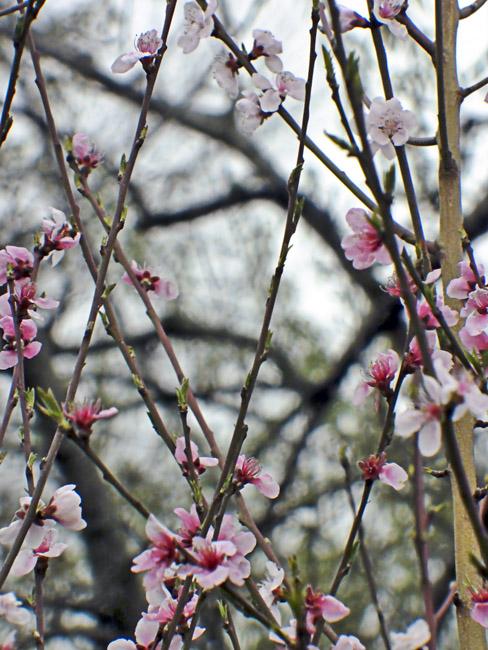 Peach blossoms against a gray winter sky