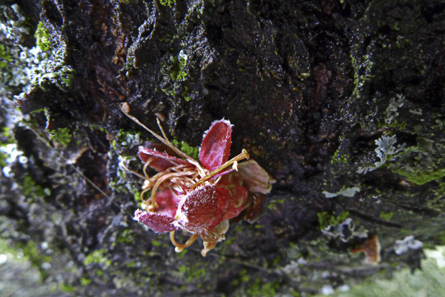Frozen peach blossom and lichens on tree trunk