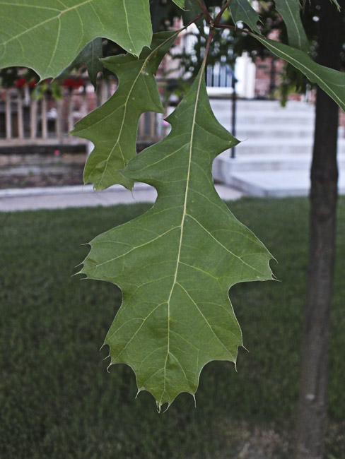 A single leaf of the mighty oak