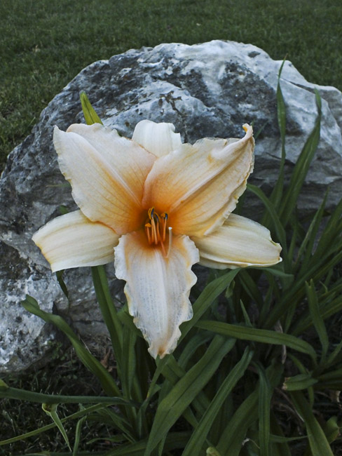 Day Lily, Karst boulder and Fescue grass