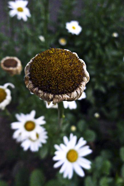 Gayle's daisies