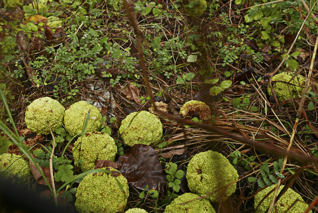 Hedge apples or Osage orange