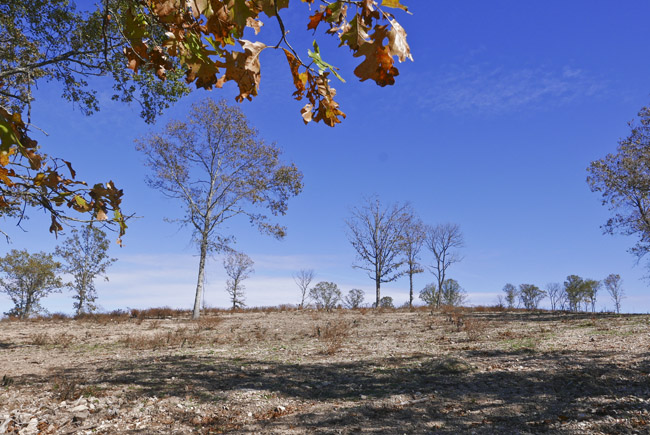 This year's fall color on a clearcut hilltop in the Ozark.