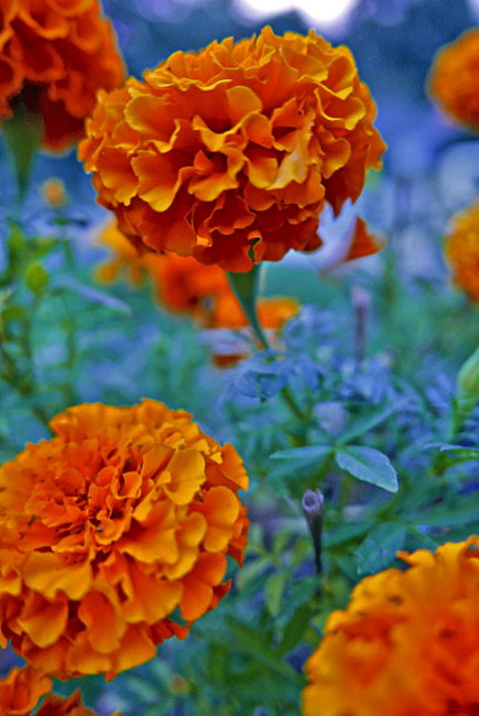 Marigolds at dusk