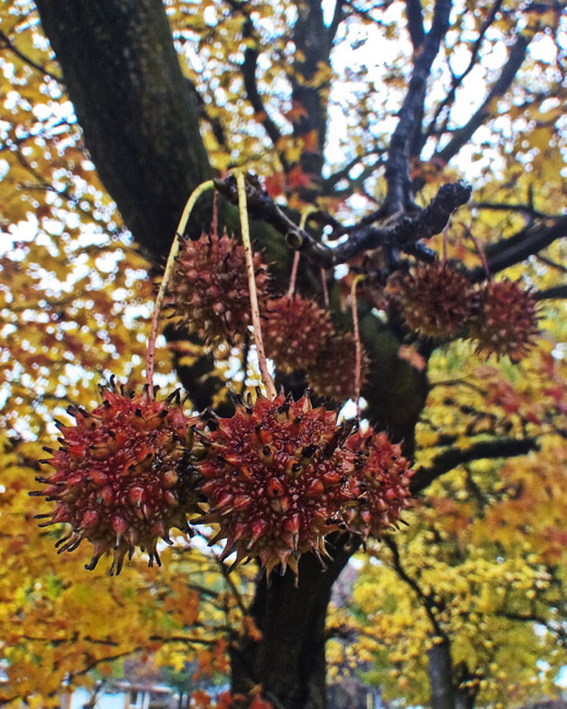 Composition in Red and yellow, Sweet gum balls