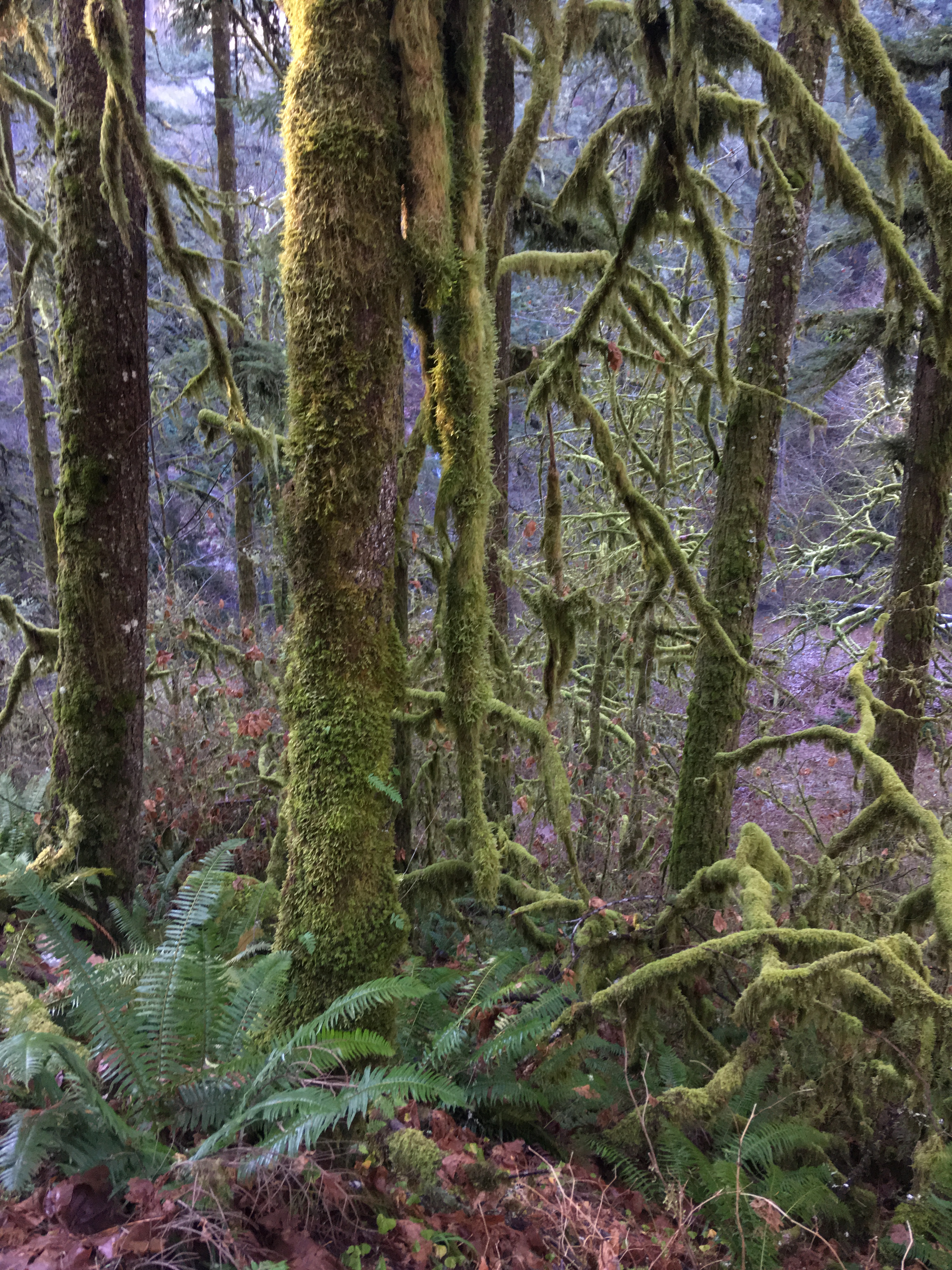 The rain forest of Silver Falls State Park