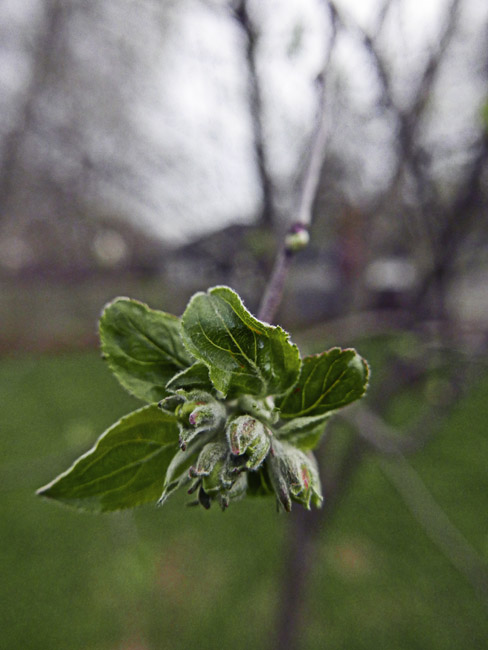 Hopefully the apple blossoms won't freeze tonight.
