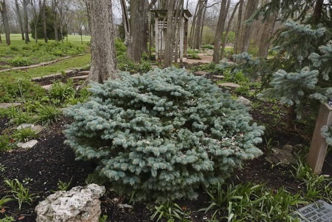 Evergreen in Close Memorial Gardens