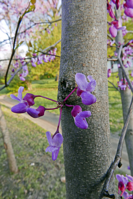 The Redbuds are starting to bloom