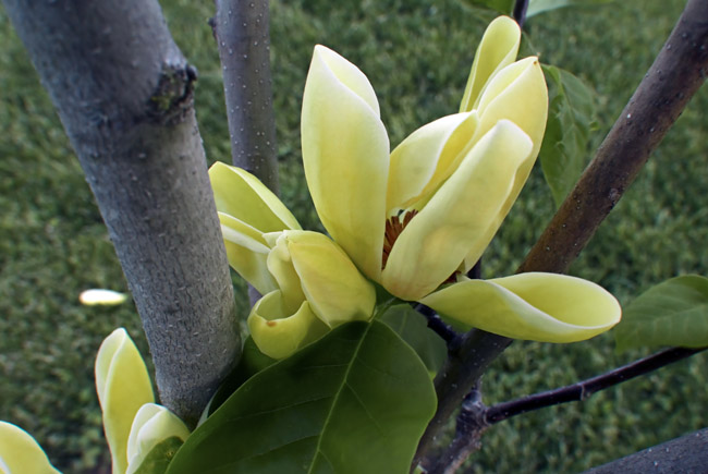 Yellow Bird Magnolia