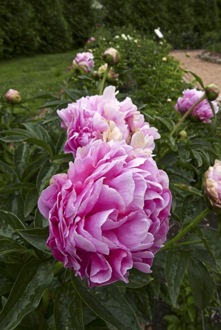Peony in bloom at Close Memorial Gardens