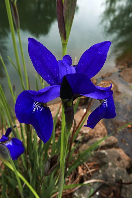Blue Iris by Japanese garden lake