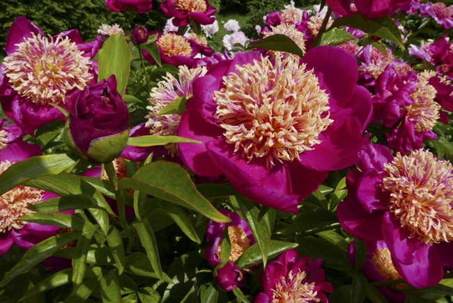 Gorgeous Peonies in Close Memorial Park