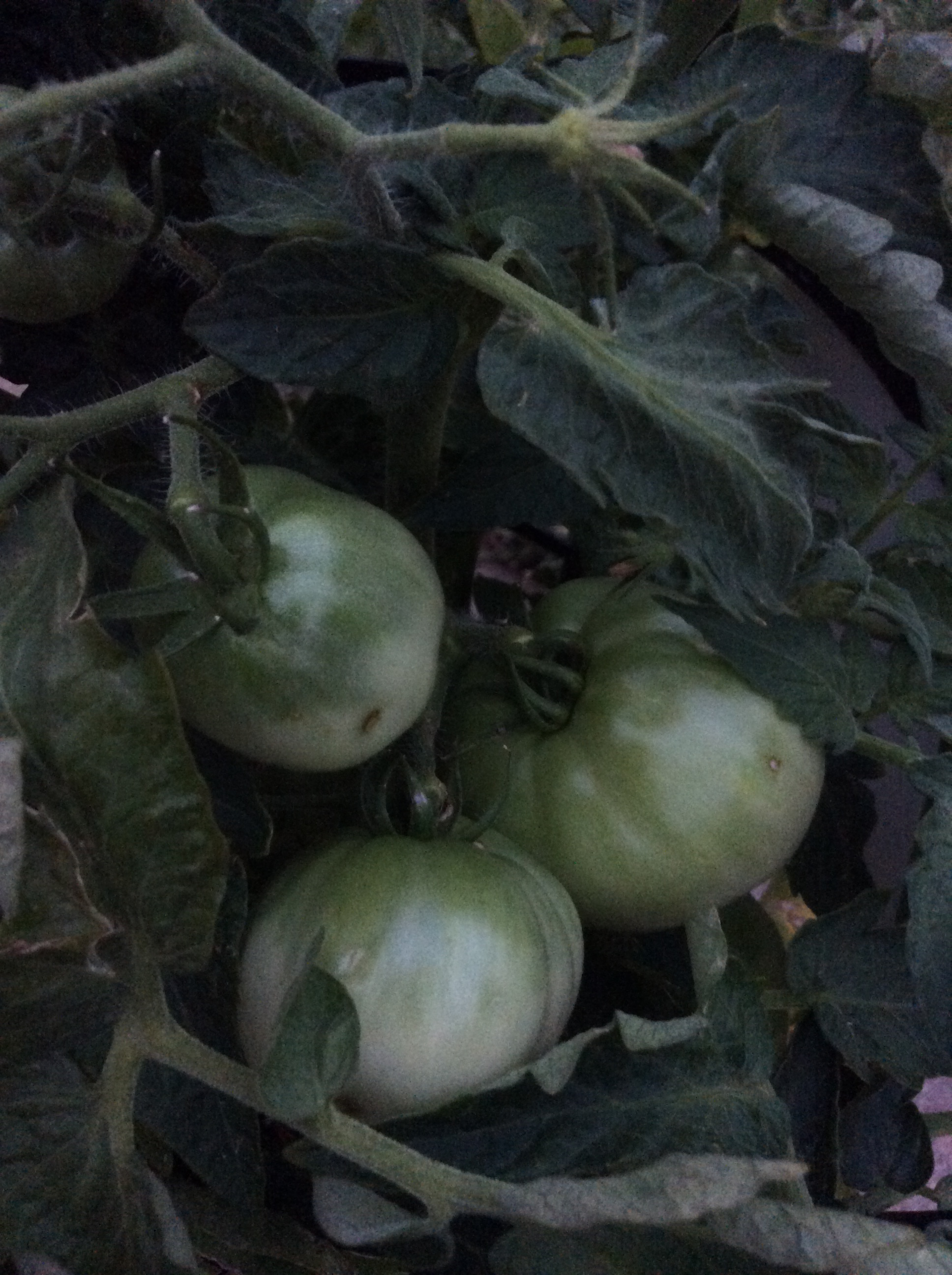 Little green tomatoes