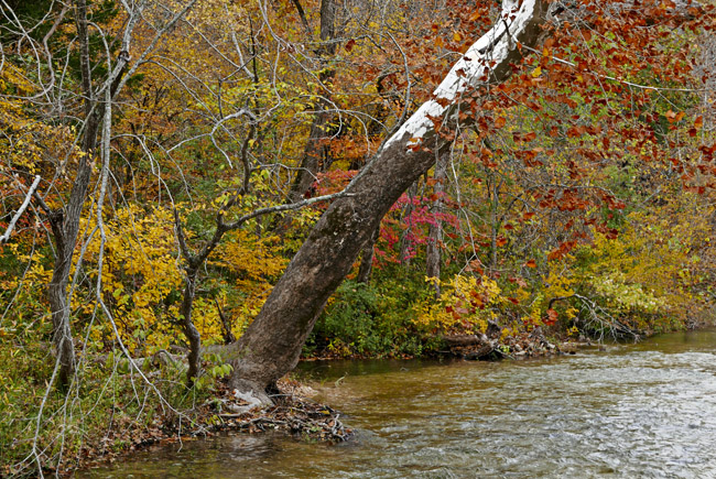 Sycamore on the banks of Bull Creek