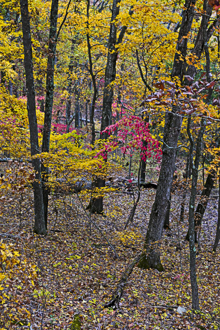 The Dogwoods are decorating the Ozark hills. understory.