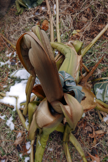 Frozen and hibernating Elephant Ear