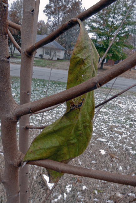 The PawPaw's last leaf of 2018