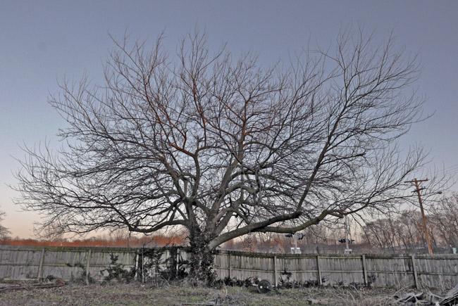 A lone bare tree