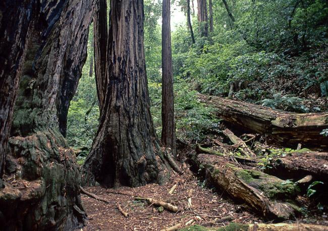 California's Montgomery Redwood State Park, circa 1989