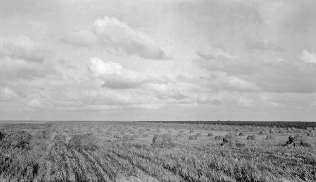 Harvested field of wheat, circa 1930's