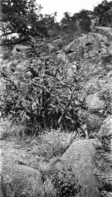 Western Cactus shot by someone on the Sprick side of the family, circa 1930″s