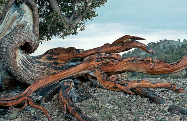 Bristlecone pine in the Patriarch Grove at tree line in the White Mountains of the Sierras, circa 1992. The photo was shot with Kodak Ektar 25 negative film.