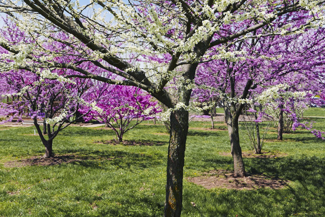 Redbud Grove at Nathaniel Greene Park